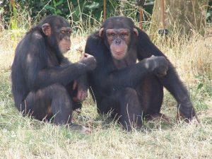 Couple de singe reproduction dans la Vallée de Loire à Romagne